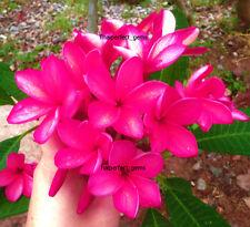 "Plumeria/Plants/Flowers/"" NewSexyPink""/Fresh 55 seeds!"