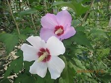 HIBISCUS ROSE OF SHARON 1 BABY PLANT PERENNIAL HEDGE TREE SHRUB MIXED COLORS