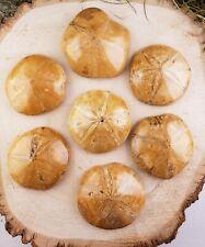 Sand Dollar Sea Urchin Echinoid Gemstone Fossil