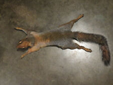 Taxidermy Wall Climbing Grey Squirrel Mount Rodent Coyote Raccoon Fox Mouse Rat