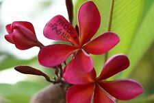 Plumeria Rooted Plant,Rare,Paddle Moragne