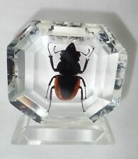 Insect Table Stand Golden Stag Beetle Odontolabis cuvera Specimen Clear AD009-2