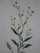 CURTIS Flora Londinensis 1st. Edition Ranunculus Small Spear Wort - 1777