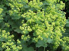 Alpine Lady's Mantle Seed Medicinal Use Frost Resistant Alchemilla mollis cv.
