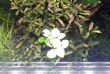 ECHTE originale Anubias snow white Rarität Aquarium Pflanze weiß Bucephalandra