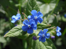 ALKANET TRUE BLUE UK RARE HARDY PERENNIAL WILD FLOWER AND DYE PLANT 10 SEEDS