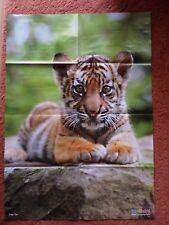 84x59 Poster + Tiger Katzen Raubtier Asien Tiere Wissen Kinder MEDIZINI 09-2017