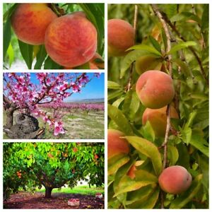 2 Peach Fruit Seeds Persicum Home Garden Delicious Juicy Gorgeous Organic Plants