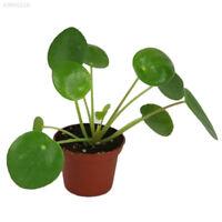 50Pcs Pilea Peperomioides Chinese Money Plant Seeds Tree Pancake Shape*