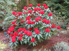 Rhododendron Grace Seabrook -#7 Container Plant - Stunning Red Blooms!
