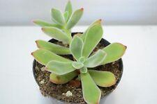 Pianta di ECHEVERIA PULVINATA Succulente Piante grasse succulenti vaso 10 grassa
