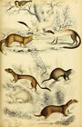 1800s Animals -Mustela Weasels- Antique Vintage Print in the Style of Illustrati