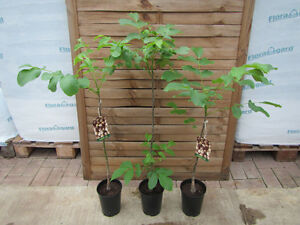 Walnussbaum - Juglans regia - Winterharte Pflanze 60-80cm