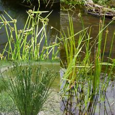 Rough Seed / Bog Bulrush (Schoenoplectus mucronatus) Seeds 'Bush Tucker Food'