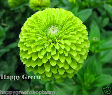 ZINNIA DAHLIA LIME GREEN - ENVY - 150 SEEDS - Zinnia elegans dahliaflowered