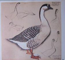Beau Tunnicliffe Oiseau Imprimé ~ Domestique Chinois Oie