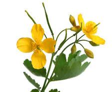 250 Samen Schöllkraut (Chelidonium majus), Heilpflanze, Volksmedizin, Goldkraut