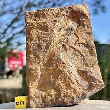 More details for ginkgo tree leaves fossil usa paleocene fsr022 ✔100% genuine ✔uk seller