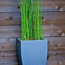12+ Stalks Horsetail Reed Water Zen Garden Plant Fast Growing Root Divisions 6in
