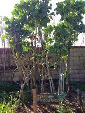 Tree Collard Cutting - 2 Cuts - Fresh From Our Garden