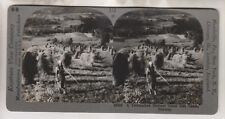 VINTAGE STEREOVIEW - A TELEMARKEN HARVEST SCENE - NEAR SAUDE NORWAY
