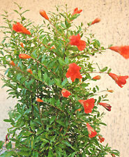 dwarf Pomegranate Punica granatum Nana, edible fruit,  rare hardy shrub plant
