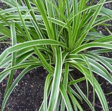 Carex Ice Dance - Ornamental Shade Evergreen Grass Perennial in 9cm Pot