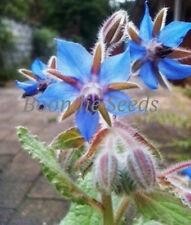 BORAGE 30+ seeds MEDICINAL HERB garden blue flowers EASY TO GROW companion plant