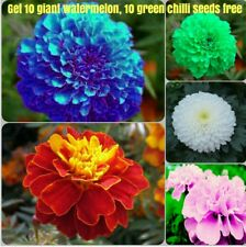 Marigold flower seeds combo - Blue, red, pink, white, yellow ( 10 seeds each )