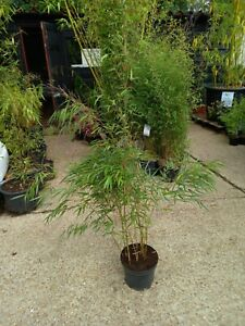 Asian Wonder Potted Bamboo 10L Pink Stem Clumping Bamboo Approx 4-5ft