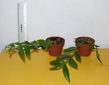 Orchid/ Orchideen - Dendrobium sulawesiense x lawesii 'Orange'