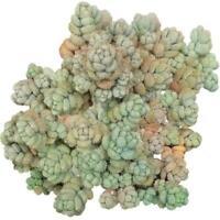 Sedum Fuzzy Wuzzy Succulent (2'' or 4'')