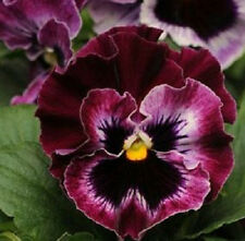 50 Pansy Seeds Frizzle Sizzle Raspberry FLOWER SEEDS