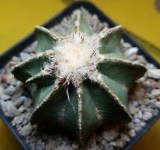 Aztekium hintonii 7,5 cm ¡GYANT! MOTHER OWN ROOTS astrophytum ariocarpus ritteri