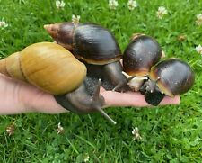 Giant African Land Snails (Achatina Fulica)