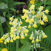 Primula Florindae (Himalayan Cowslip) - 100 Seeds - Perennial