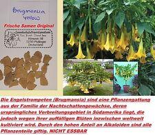 6x Engelstrompeten Brugmansia gelb yellow Samen Original Baum Sträucher Neu #249