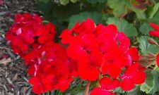 Healthy flowering Geranium Plant Red healthy established plant ~300mm tall