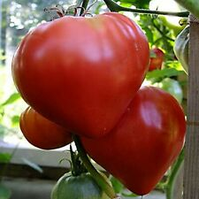 Seeds Beefsteak Tomato Volove Sertse Chervonyy Bulls Heart Red Heirloom