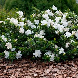 1 X GARDENIA JASMINOIDES 'CROWN JEWEL' CAPE JASMINE EVERGREEN SHRUB PLANT IN POT