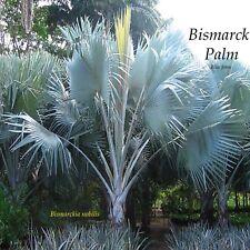 ~BLUE BISMARK PALM~ Bismarckia Nobilis 15 HUGE SEEDS VIABLE Grown with Aloha
