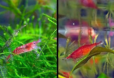 19+ Red Cherry Shrimp (RCS) guaranteed to be healthy.