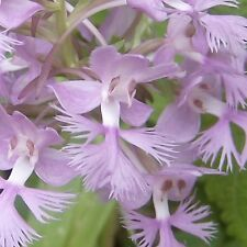 Purple Fringed Orchid ..... 200 Seeds