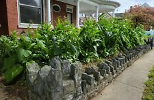 Black Mammoth Tobacco Seeds ~400-1000+ seeds per package. Grown in PA.