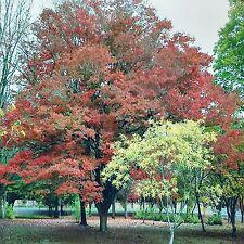 JAPANESE ELM SEEDS ZELKOVA SERRATA COLOUR FEATURE TREE FLOWERING 20 SEED PACK