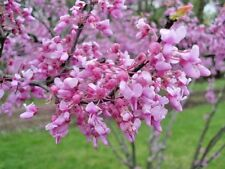 20 FOREST PANSY REDBUD TREE SEEDS - Cercis canadensis