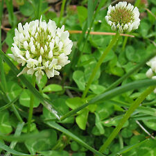 SeedRanch White Dutch Clover Seed: Nitro-Coated & Inoculated - 5 Lbs.