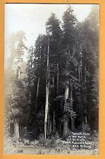 RPPC Tallest Trees in World Giant Redwood #888  photographer Patterson 12817