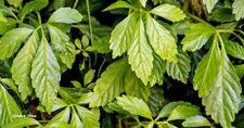 50 Graines Herbe de l'immortalité , Jiaogulan Gynostemma Pentaphyllum seeds