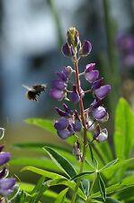 "Blaue Lupine Lupinus angustifolius Sorte Boruta 35  Samen ""ALLES NUR 1 EURO"""